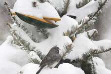 A junco perches on an old Christmas tree during a February snowstorm in New England.
