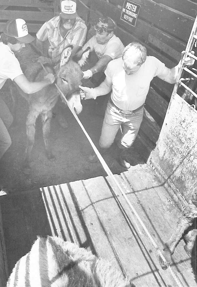 From left, Bill Chalmers, Al Gerson and G.W. Biscamp. Some fo the burros had to be really pushed and pulled before they would get into waiting trailers. Photo published March 1982 Photo: Enterprise File