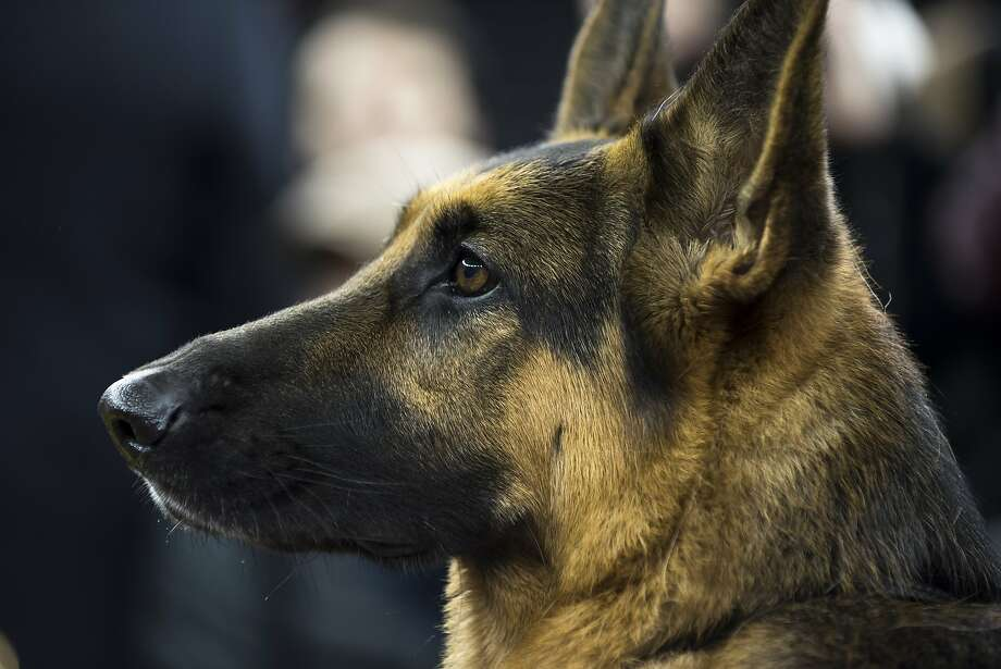 OUT: The German shepherd. TSA is phasing out pointy-eared dogs for passenger-screening at airports.  Photo: KARSTEN MORAN, NYT