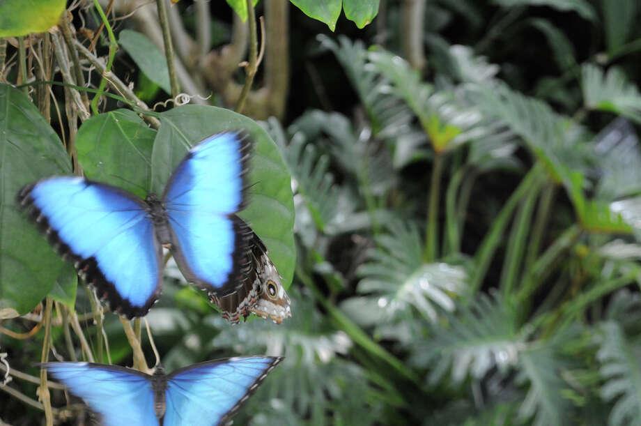 Two Blue Morpho butterflies. Photo: Missouri Botanical Garden / © Missouri Botanical Garden