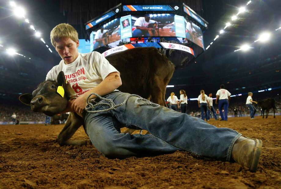A stubborn calf refuses to cooperate during the Calf Scramble at the rodeo. Photo: Mark Mulligan, Staff / © 2016 Houston Chronicle