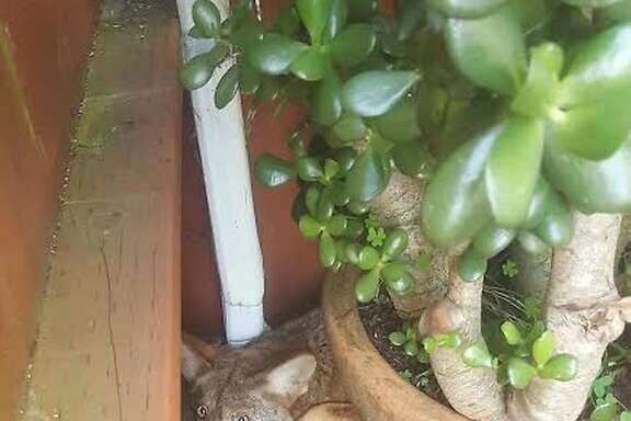 A resident of the Serramonte neighborhood of Daly City was surprised this critter staring back at her behind a jade plant at her home.