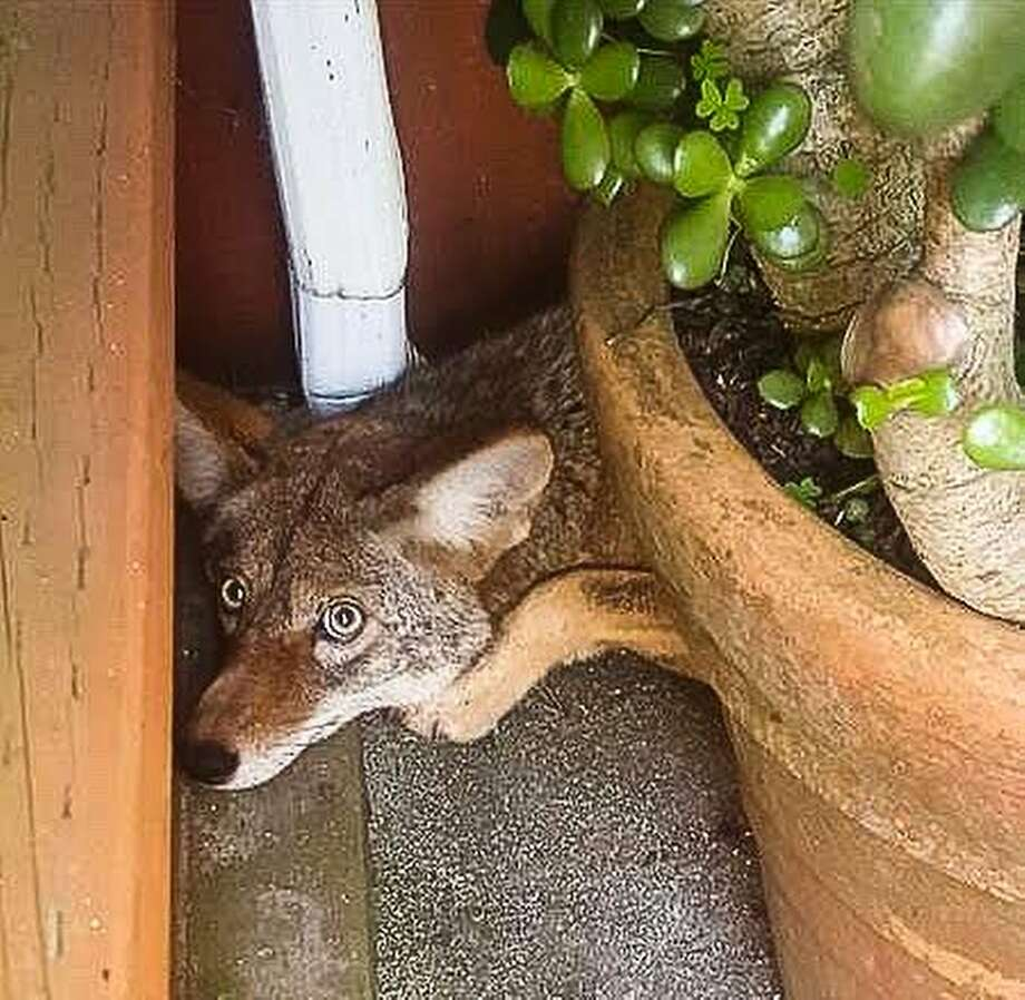 Nothing to see here, nope. Definitely no coyotes. Keep moving:A resident of the Serramonte neighborhood of Daly City was surprised to find this critter behind a jade plant near the rear entrance of her home. Photo: Stacy Perez