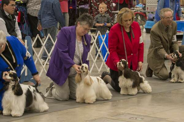 Trainers ready thier dogs for showing Friday 02-17-17 at the West Texas Kennel Club Dog Show at the Horseshoe Pavilion. Tim Fischer/Reporter-Telegram