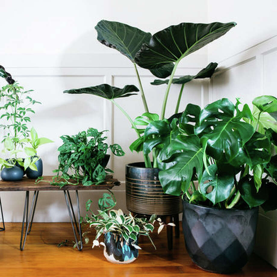 clustered in an entryway a grouping of bigleafed houseplants makes for a lush