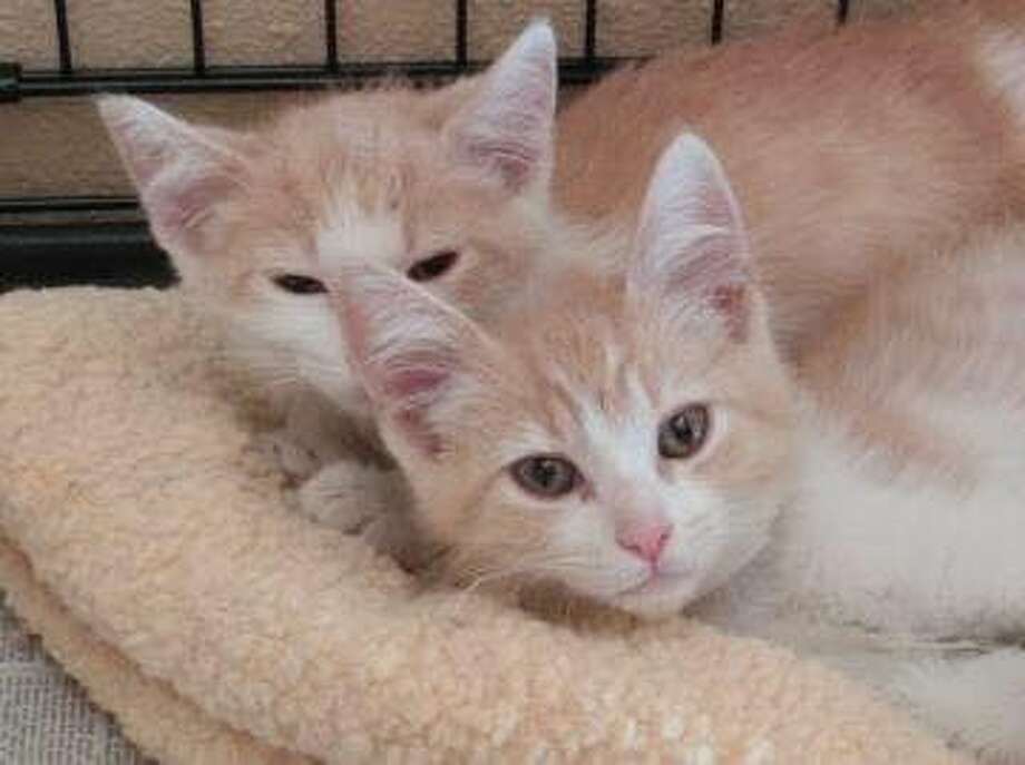 Ozzy and Butter were separated as kittens upon being adopted by different families from the Petaluma Animal Shelter in 2014. Thanks to their owners budding Tinder romance, the two brothers were reunited. Photo: Photo: Cathleen Cavin