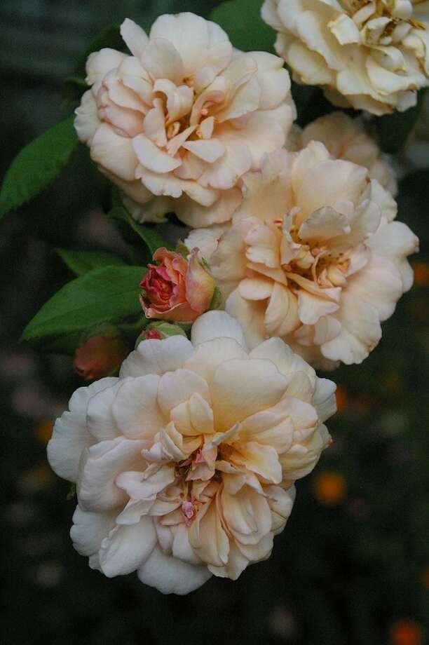 Buff Beauty is a charming hybrid musk rose with delicate shading of rich, buff apricot. The old-style, double blooms, borne in small trusses, have a lovely tea rose fragrance and appear spring to autumn. A mannerly climber reaching 8 to 10 feet. Photo: Photo By Linda Crum
