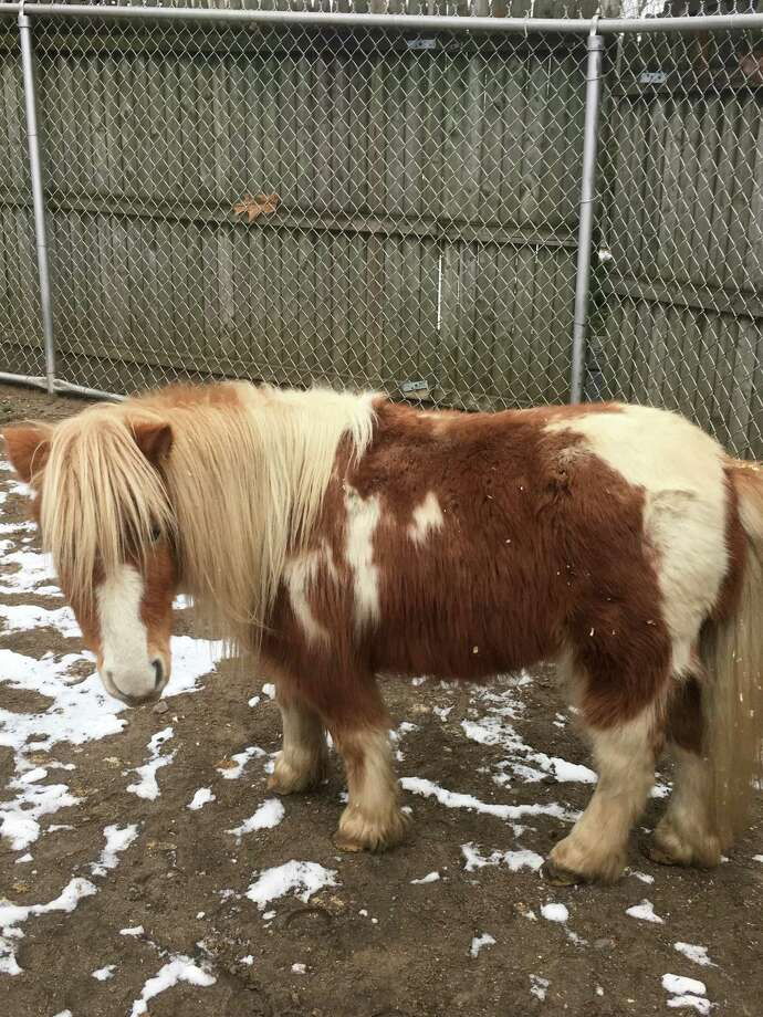 A pair of miniature horses has been added to the New England Farmyard exhibit at Connecticut's Beardsley Zoo. Photos courtesy of Connecticut's Beardsley Zoo. Photo: Contributed / Contributed