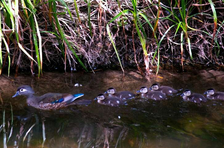 All the rain means this will be a good year to be a duck. Here a mother wood duck leads its newly-hatched squadron of ducklings in Walnut Creek, the actual creek the town is named after.