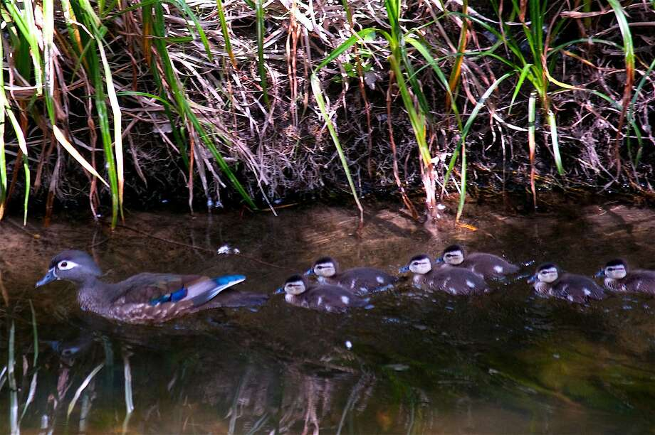 All the rain means this will be a good year to be a duck. Here a mother wood duck leads its newly-hatched squadron of ducklings in Walnut Creek, the actual creek the town is named after. Photo: Tom Stienstra, Brian Murphy / Special To The Chronicle