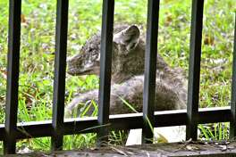 A coyote rests outside the fence at 1111 North Post Oak Road, near the intersection of Interstate 10 and Loop 610.