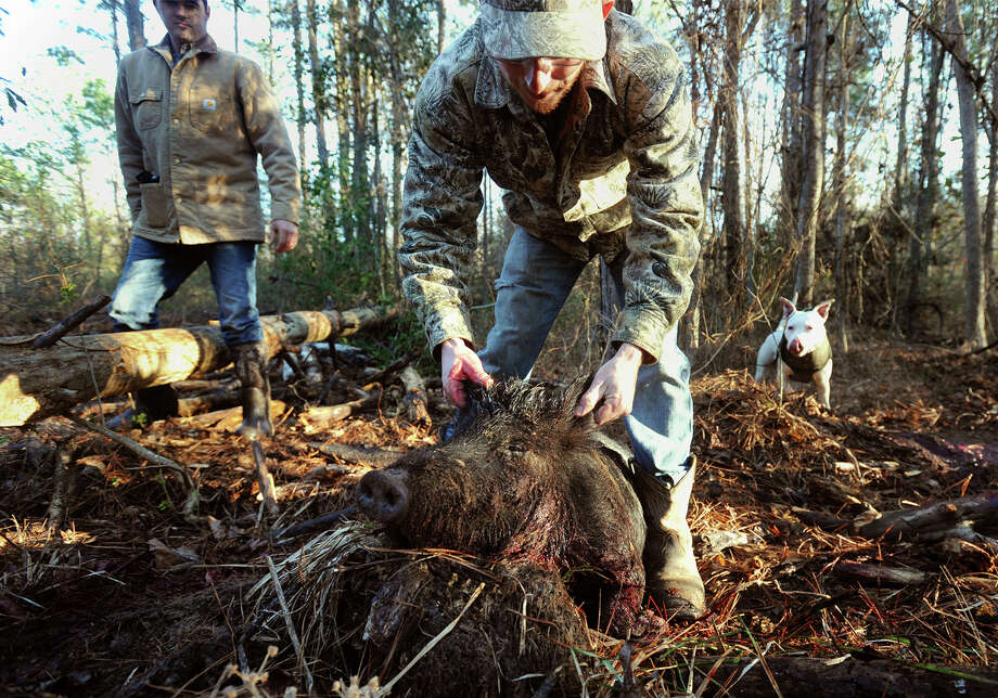 Brian Curtis props up a hog while hunting feral hog in Newton County on Thursday. Bruce Perdue and Tito a 2 year-old dogo argentino are also pictured.  Photo taken Thursday, February 17, 2017 Guiseppe Barranco/The Enterprise Photo: Guiseppe Barranco, Photo Editor
