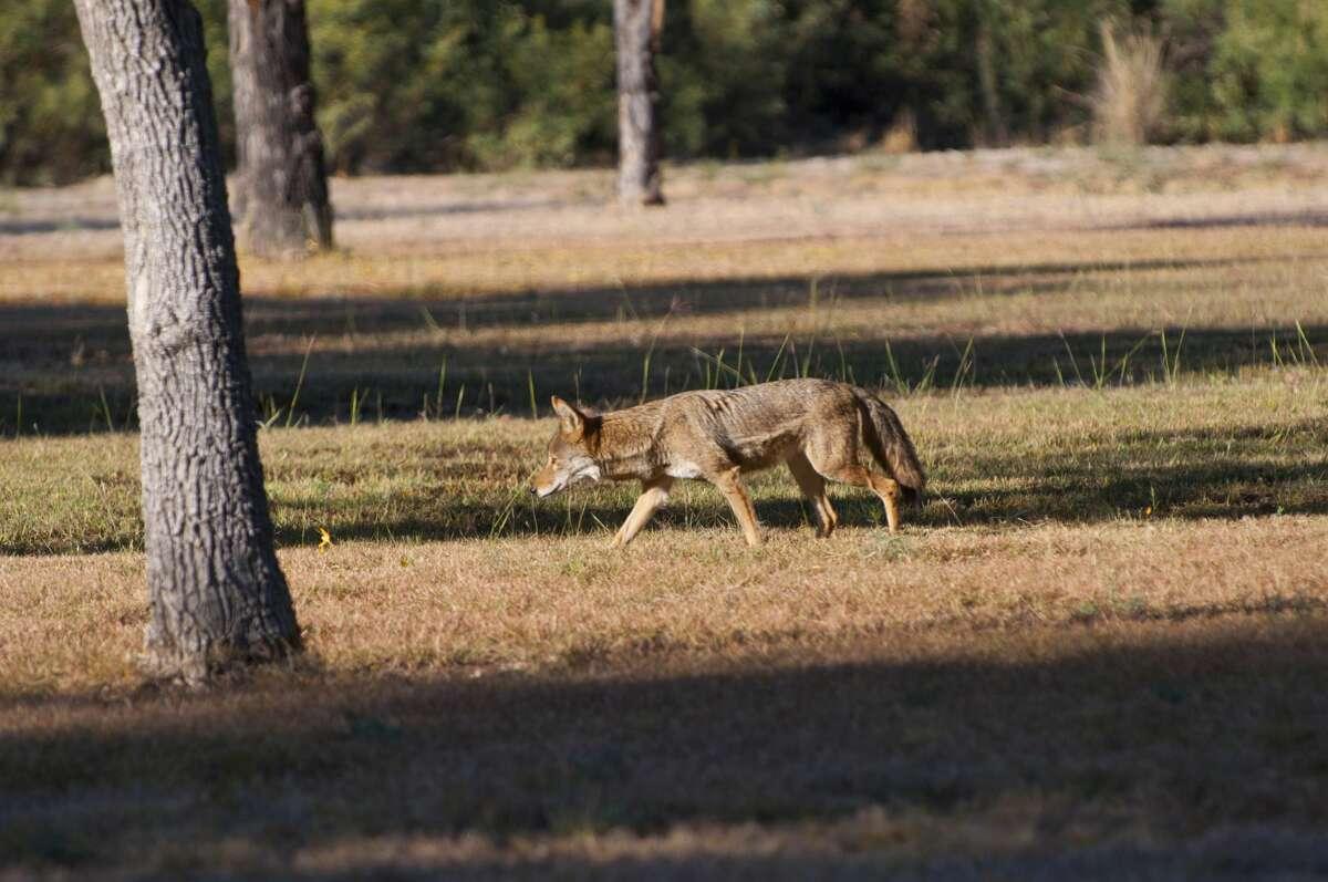 Startle predators away Set up a sprinkler system with a motion sensor. Coyotes won't appreciate a wet surprise.