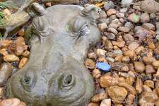 "The ""Hippo Garden"" in Sue Shefman's back yard, Houston, Texas on Wednesday, February 15, 2017"