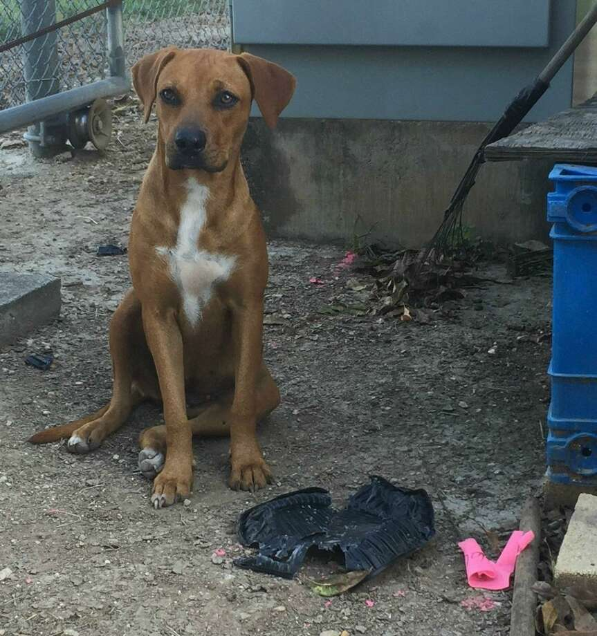 Princess Leona, a female, Rhodesian Ridgeback  mix, found at the Leon Creek CPS Energy power plant was rescued  by the company's nonprofit Worthwhile Animal Rescue Mission.  In January, a family in Northeast Texas adopted her. Photo: Courtesy Photo / CPS Energy