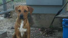 Princess Leona, a female, Rhodesian Ridgeback  mix, found at the Leon Creek CPS Energy power plant was rescued  by the company's nonprofit Worthwhile Animal Rescue Mission.  In January, a family in Northeast Texas adopted her.