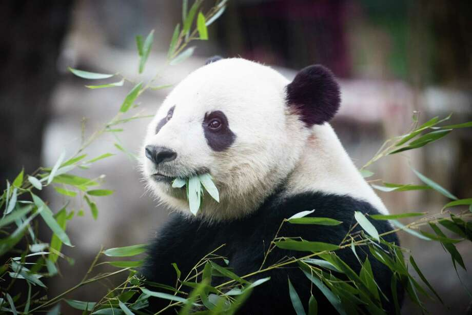 The 3-year-old giant panda Bao Bao will depart the National Zoo on Tuesday morning for a long trip to her new home on one of the bases run by the China Conservation and Research Center for the Giant Panda. / The Washington Post