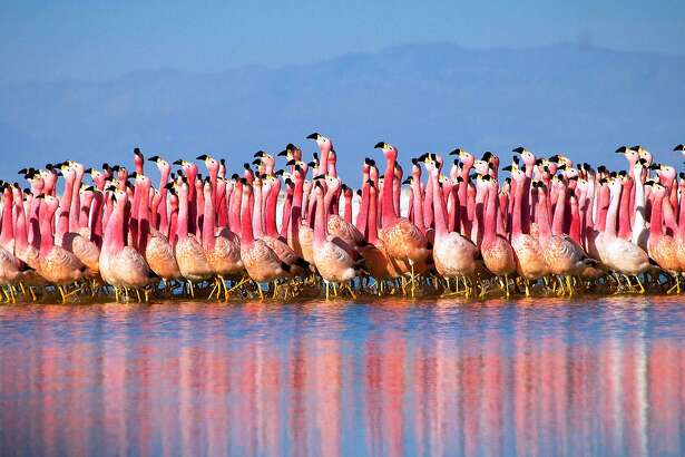 "A chain of salt lakes, found at over 4000m high in the Andes, provide a safe refuge for flamingo colonies. They gather here to breed, first performing a peculiar parade dance. While the exact rules of the dance remain a mystery to us, it somehow helps them select a mate. It's a scene from the ""Mountains"" episode of BBC America's ""Planet Earth II"""