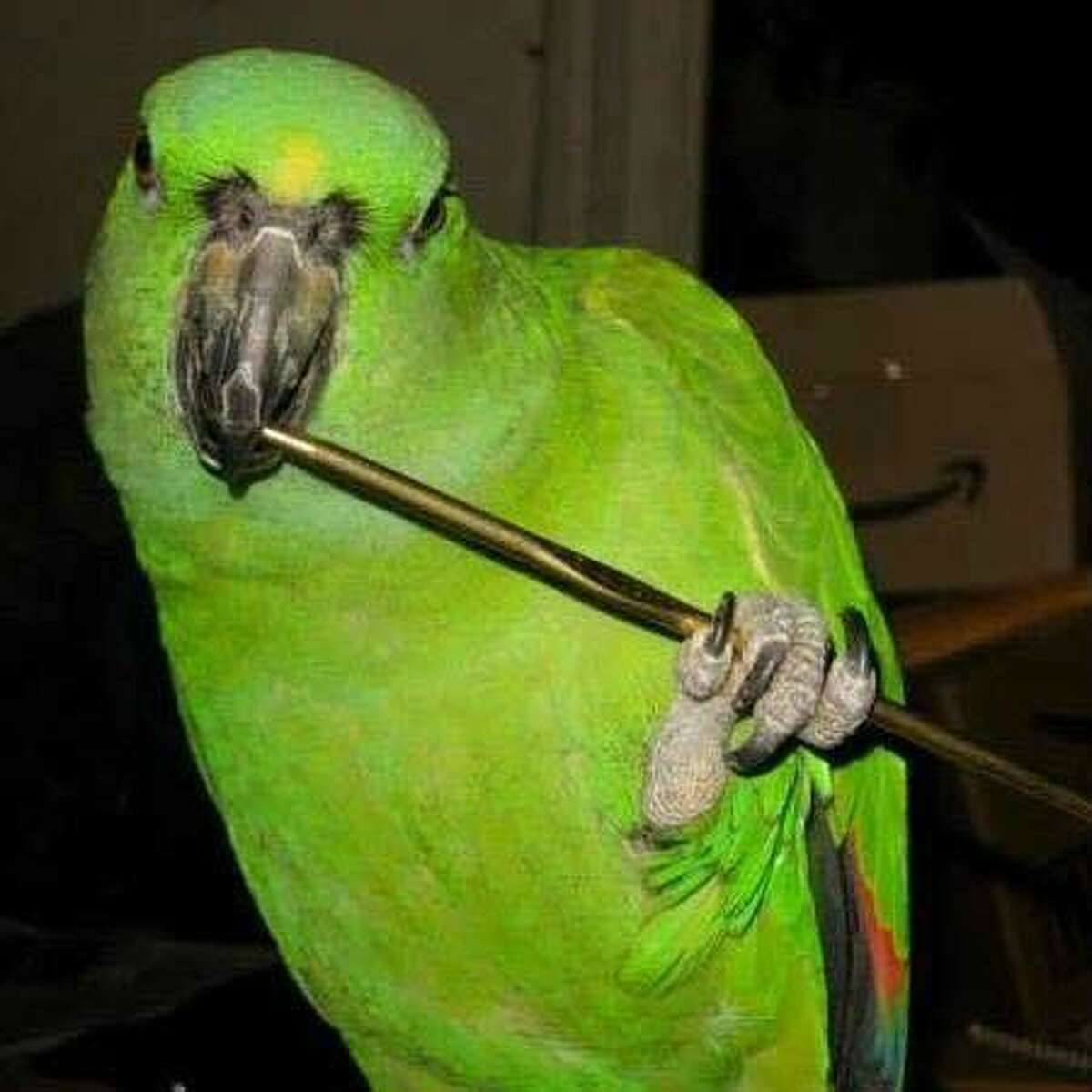 Penne the parrot is still missing after flying from a Norwalk house fire that claimed the life of its owner.