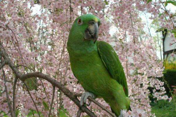 Penne the parrot is still missing after escaping from its home during a house fire Sunday in Norwalk.