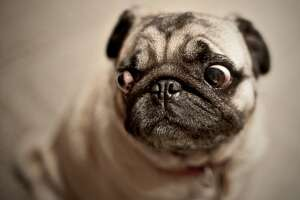 This Getty stock photo shows a closeup portrait of a pug. (Eddy Joaquim | Getty Images)