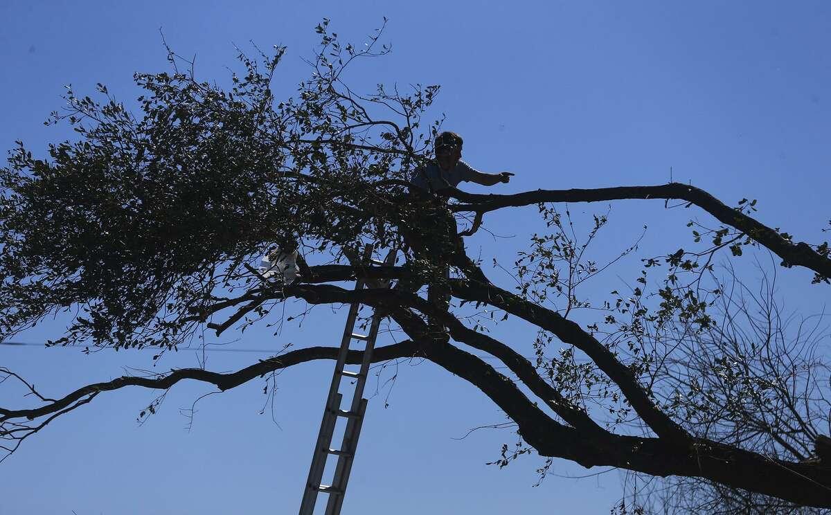 A worker prunes branches as workers were seeking to get rid of the debris from broken trees on Linda Street.