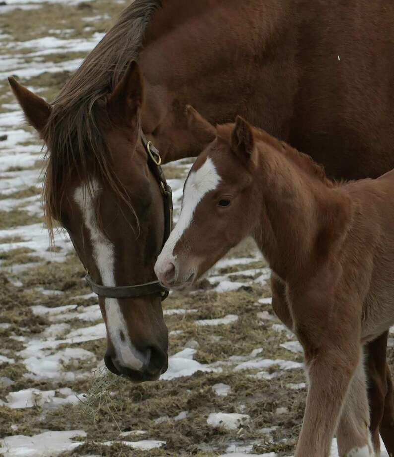 Thoroughbred Silver Over Gold, left, nuzzle with her newborn son, right, who is a Normandy Invasion colt, at Saratoga Glen Farm on Tuesday  Feb. 21, 2017, in Stillwater, N.Y. He  was born on Monday. Silver Over Gold has won over $100,000 during her racing career.  (Skip Dickstein/Times Union) Photo: SKIP DICKSTEIN / 40039758A