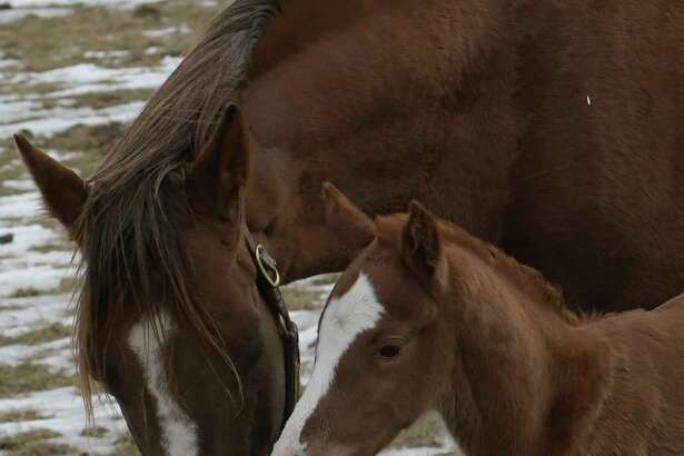Thoroughbred Silver Over Gold, left, nuzzle with her newborn son, right, who is a Normandy Invasion colt, at Saratoga Glen Farm on Tuesday  Feb. 21, 2017, in Stillwater, N.Y. He  was born on Monday. Silver Over Gold has won over $100,000 during her racing career.  (Skip Dickstein/Times Union)