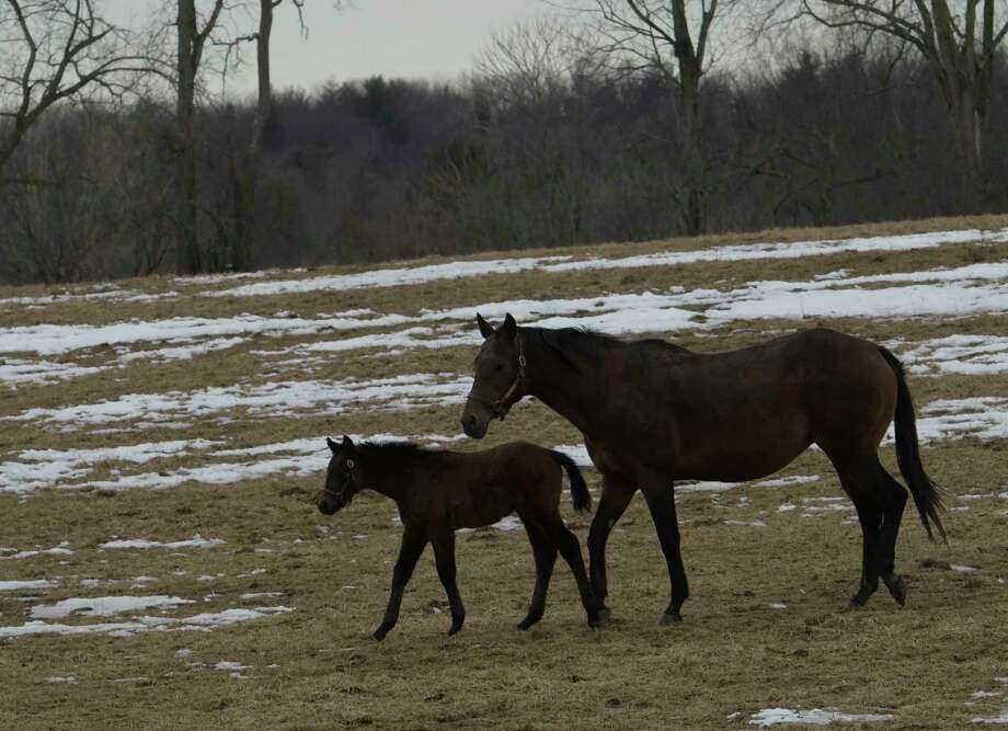 Maybe Lin, right, enjoys some unseasonably warm weather with her newborn son, left, who is an Honorable Dillon colt, on Tuesday  Feb. 21, 2017, at a Questroyal Farm  in Stillwater, N.Y. The colt was born on January 9th. (Skip Dickstein/Times Union) Photo: SKIP DICKSTEIN / 40039758A
