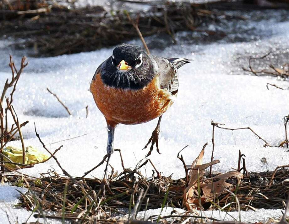 The traditional harbinger of dpring, an American robin, makes an appearance with warm weather Wednesday Feb. 22, 2017 in Colonie, NY.  (John Carl D'Annibale / Times Union) Photo: John Carl D'Annibale
