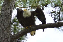 Live video screen captures document the lives of a bald eagle family as they nest along Clear Creek in Webster.