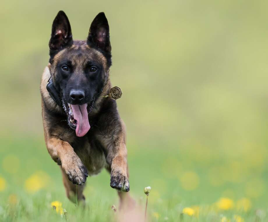 A State Police dog runs through a field. The statewide agency established a K-9 Unit in 1976 and now employs 90 dogs. (New York State Police)