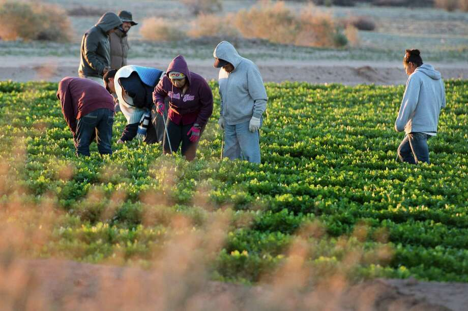 Temporary agricultural workers tend a farm in the early morning last week in Weldon, Arizona, near the U.S.-Mexico border. A recent paper issued by the National Bureau of Economic Research found that the millions of unauthorized workers in the U.S. contribute about 3 percent of private-sector gross domestic. At an average of $500 billion in output a year, removing all such immigrants would be like lopping off the equivalent of Massachusetts from the U.S. economy, said study co-author Francesc Ortega. Photo: Jim Watson /AFP /Getty Images / AFP or licensors