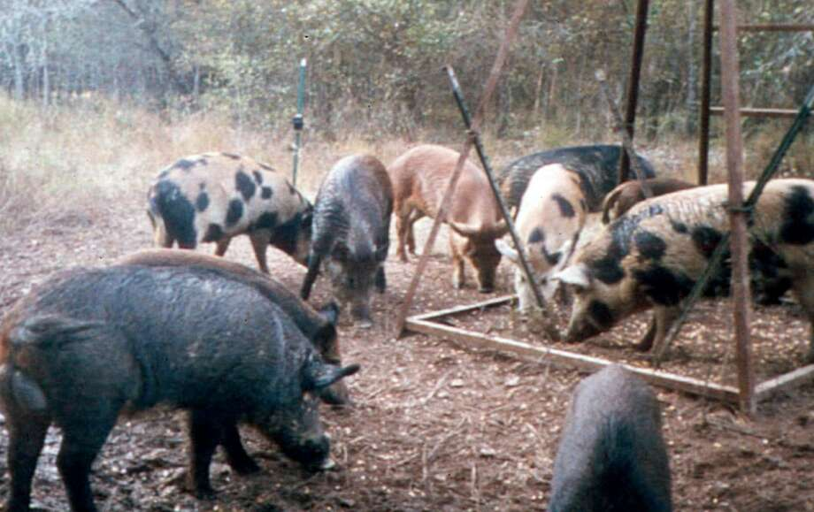 "Feral hogs eat corn at a deer feeder near Overton. State Agriculture Commissioner Sid Miller has approved use of ""Kaput Feral Hog Lure"" to cut down on the state's feral hog population. The pesticide's key ingredient is warfarin. Photo: Texas A&M University Research & Extension Center / AP2007"
