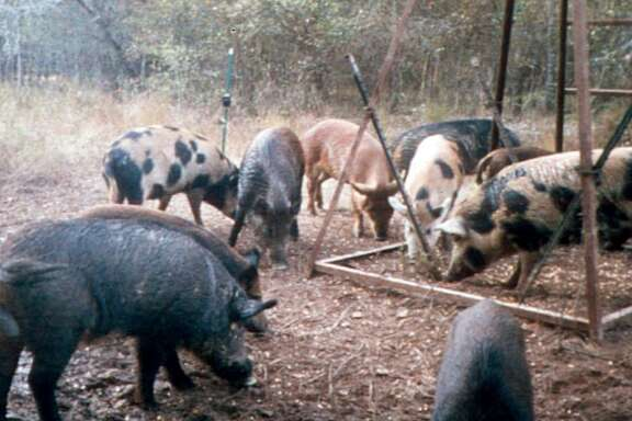 "Feral hogs eat corn at a deer feeder near Overton. State Agriculture Commissioner Sid Miller has approved use of ""Kaput Feral Hog Lure"" to cut down on the state's feral hog population. The pesticide's key ingredient is warfarin."
