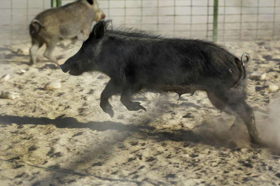 Trapped feral hogs scamper in a pen trying to get out in an area outside of Ojinaga, Mexico. Wild hogs are a nuisance in Texas and a growing problem across the border in northern Mexico. The Texas Department of Agriculture estimates landowners are spending about $7 million a year in what has been a futile fight against the animals. Photo: San Antonio Express-News /File Photo / © 2012 San Antonio Express-News