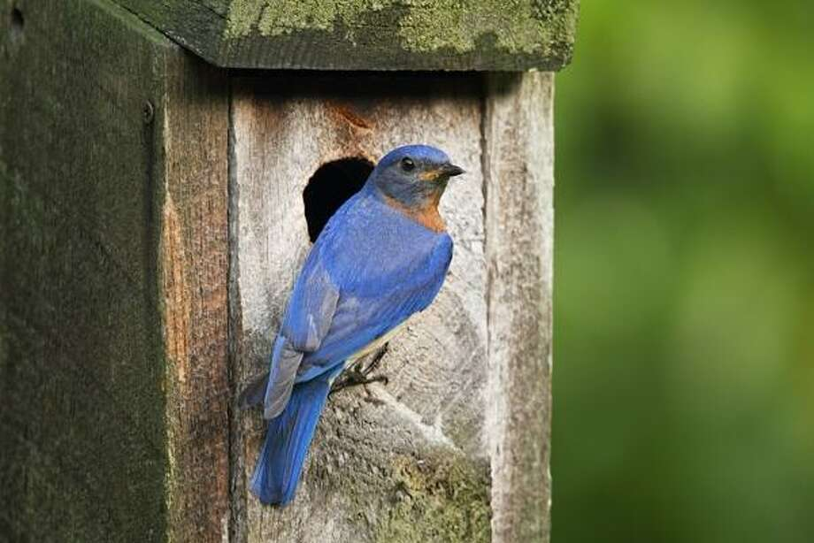 "Since 1980, the DEEP Wildlife Division's ""Connecticut Bluebird Project"" has been distributing rough-cut lumber to organized groups to construct, install, and maintain bluebird nest boxes. This annual program has been highly successful in generating tens of thousands of bluebird boxes and helping restore bluebird populations statewide. Photo: Paul J. Fusco /DEEP Wildlife Division"