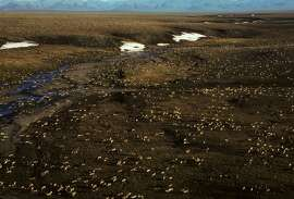 This undated aerial photo provided by U.S. Fish and Wildlife Service shows a herd of caribou on the Arctic National Wildlife Refuge in northeast Alaska. Petroleum drilling in Alaska's Arctic National Wildlife Refuge was not a consideration under President Barack Obama but it's getting renewed attention under the new administration. Alaska Sen. Lisa Murkowski and other members of the state�s congressional delegation are pushing legislation to allow drilling in the coastal plain of the refuge. (U.S. Fish and Wildlife Service via AP)