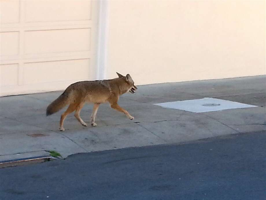 Another coyote was documented walking down a street in San Francisco: A well-fed looking coyote sauntered along Onondada Avenue and then turned on Cayuga, adjacent to Balboa High School and not far from greenbelt at Balboa Park. Photo: Tom Stienstra, Gary Bozin / Special To The Chronicle