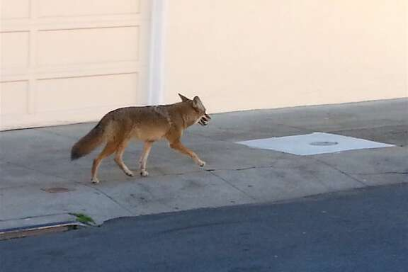 Another coyote was documented walking down a street in San Francisco: A well-fed looking coyote sauntered along Onondada Avenue and then turned on Cayuga, adjacent to Balboa High School and not far from greenbelt at Balboa Park.
