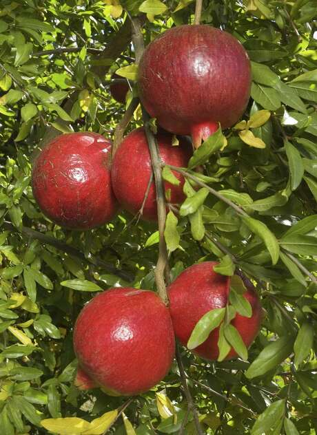 Pomegranates tolerate our alkaline soil, are drought tolerant and do not require a spray program to control insects or diseases. There is a wide selection of varieties of pomegranate available at area nurseries. Pick a variety for your landscape based on the final size of the plant, the size of the fruit and whether the seeds are edible or not. Photo: Houston Chronicle File Photo