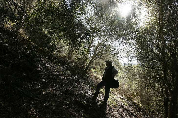 mushroom_841_el.JPG  David searches for   Chanterelle's  favorite spot under an oak tree.  Mushroom hunter David Campbell in a secret location of Marin County hunting mushrooms.  Photographer: Eric Luse / The Chronicle