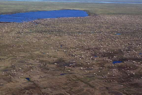 This aerial photo shows a herd of caribou on the Arctic National Wildlife Refuge in northeast Alaska. The area could be approved for drilling with support from Republicans in Congress and the White House.