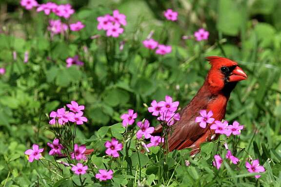 A male Northern Cardinal looks over flowers in Tyler, Texas, Sunday, May 27, 2007. (AP Photo/Dr. Scott M. Lieberman) Ran on: 06-10-2007 A male Northern Cardinal perches in a bed of flowers in Tyler, Texas.