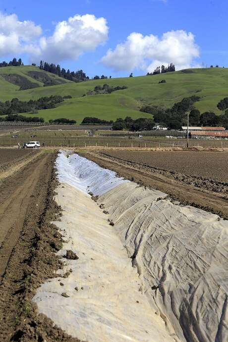 Rainwater that is collected in the hills above Watsonville is transported to the groundwater recharge basin through a series of plastic lined dirt canals. Photo: Michael Macor, The Chronicle