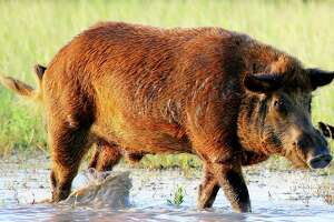 Texas, home of the nation's largest population of feral hogs, is the first state to legalize use of baits laced with a lethal toxin as a method of controlling the invasive swine, which cause significant environmental and economic damage.