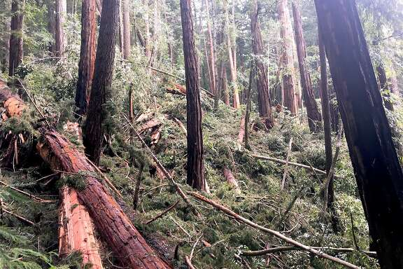 At Big Basin Redwoods State Park in the Santa Cruz Mountains, the Skyline-to-the-Sea Trail has been closed by 50 downed trees, including this 400-yard stretch plundered by a landslide that tossed old-growth redwoods in a heap. On the far side of the pile of downed trees, you can see a piece of trail emerge.