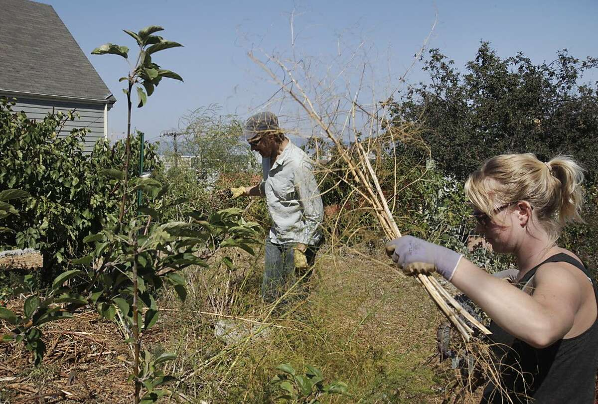 Kevin Bayuk, 36, left, a teacher at the Urban Permaculture Institute of San Francisco, and Dorsey Kilbourn, 28, a former student of Bayuk and current steward of the garden, work on pruning plants, assessment and mulching at the 18th and Rhode Island garden Aug. 27, 2014 in San Francisco, Calif. The garden was started in October 2008 by residents and students from the Urban Permaculture Institute of San Francisco. The garden, which is owned by a private landowner and grows an assortment of fruits and vegetables, is kept up by volunteers.