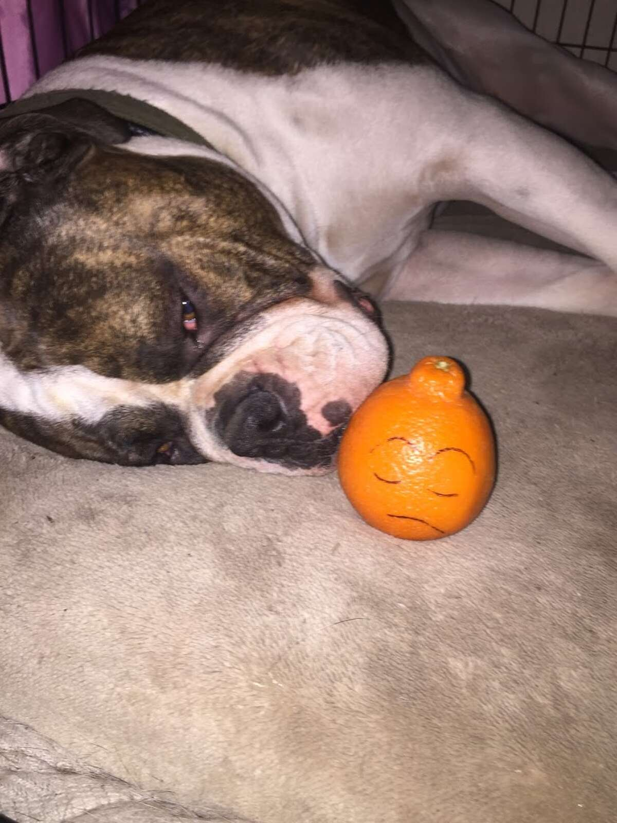 Junah, an American Bulldog, was injured alongside her owner, Pamela Chevalier-Jensen, in August when a Harris County deputy shot at the dog when Chevalier-Jensen opened the front door of her home. She'd summoned an officer so she could report a threat a girlfriend had received from her estranged husband. She'd also told call-takers she had three large dogs and was a concealed handgun licensee.