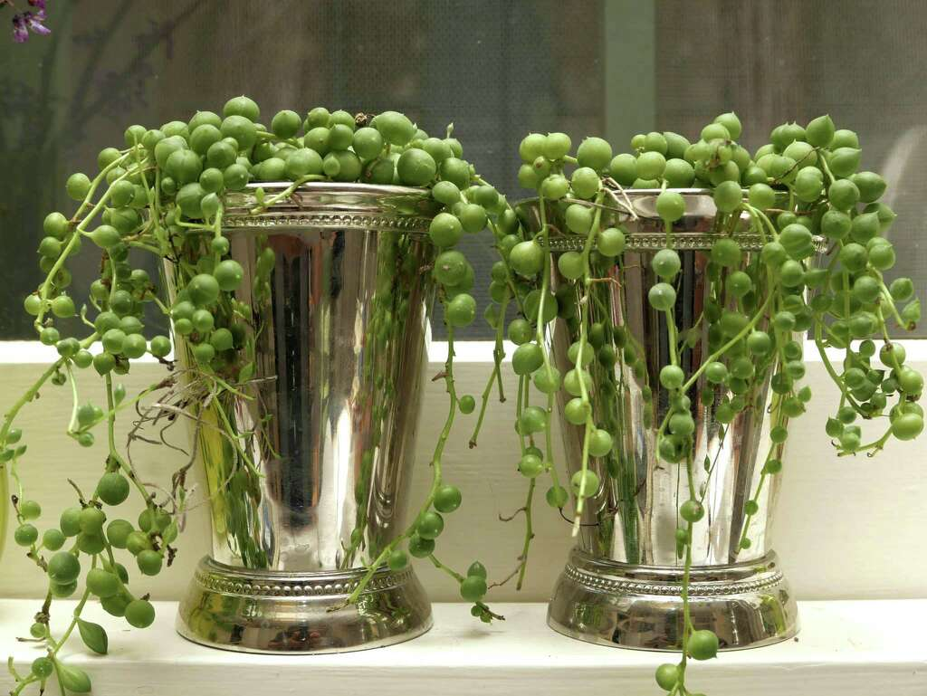 String of pearls plant care - String Of Pearl Vines Cascade From Miniature Silver Mint Julep Cups Lined Up On A Sill